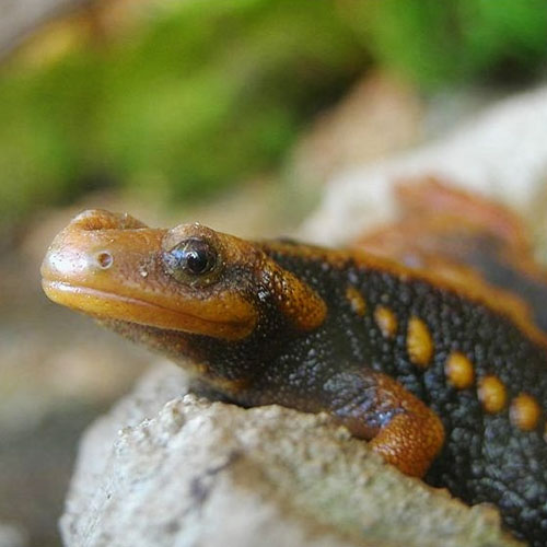 Chinese Crocodile Emperor Newt
