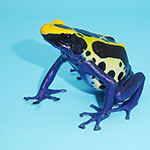 Cobalt Blue Poison Arrow Frog - adults