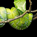 Emerald Tree Boa - juveniles