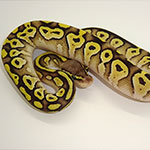 Ghost Pastave Ball Python - babies