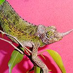 Jacksons Chameleons adult female