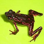 Purple Atelopus Frog adult males