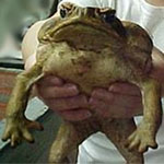 South American Giant Marine Toads - 7-8 inch adults
