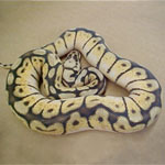 Bumble Bee Ball Python hatchlings
