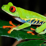 Red Eyed Tree Frogs adults