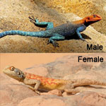 Red Head Agama