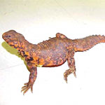 Red Niger uromastyx adults