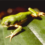 Tiger Leg Tree Frog adults